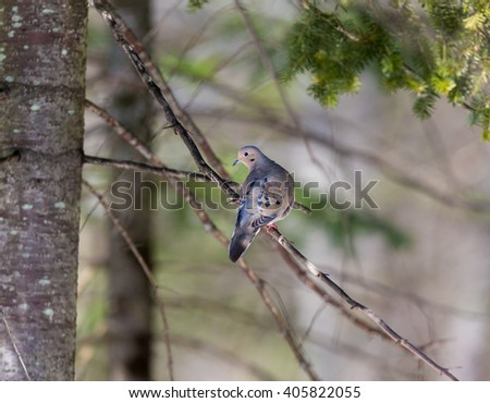 The Mourning Dove is a member of the Dove family,. The bird is also known as the Turtle Dove, American Mourning Dove or the Rain Dove, and was once known as the Carolina Pigeon or Carolina Turtledove. - stock photo