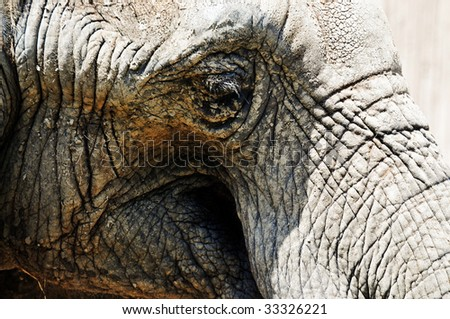 The mud caked face of a large elephant