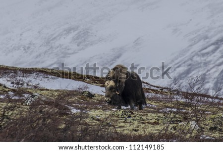 the muskox - stock photo