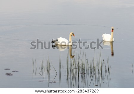 The mute swan (Cygnus olor) is a famous species of swans belonging to the waterfowl family of Anatidae - stock photo