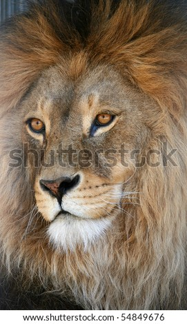The muzzle of a lion looks to the left - stock photo