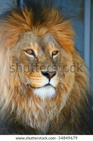 The muzzle of a lion looks to the right - stock photo