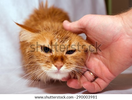 The muzzle of an animal home ginger cat that strokes the man's hand