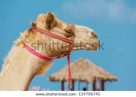 The muzzle of the African camel close-up - stock photo