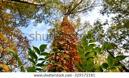 The mystical landscape of the trunk, wrapped in colored leaves of wild grapes in autumn - stock photo