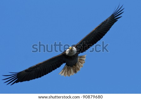 The national bird of the United States, the Bald Eagle, in flight against a blue sky background.