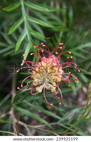 The native Australian Grevillea plant is an evergreen tree or shrub with uniquely shaped flowers. Red Grevillea flowers are common and popular in gardens.  - stock photo
