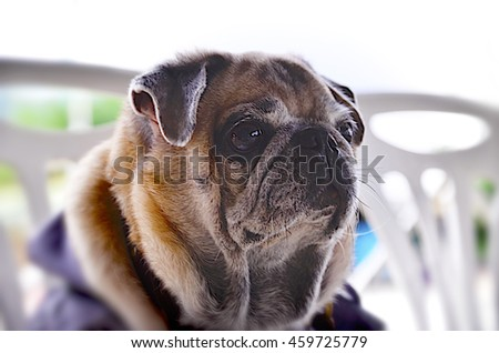 The nature of the dog breed pug.