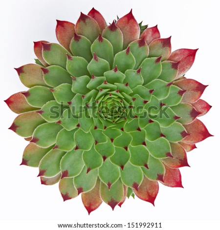 The near geometric perfection of a succulent plant (Jovibarba hirta) isolated on a white background - stock photo