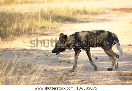 The nearly extinct, highly endangered African Wild Dogs, Lycaon Pictus, resting in the african savannah, shallow Depth of Field