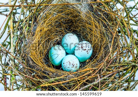 The nest of a Bullfinch with four blue eggs - stock photo