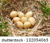 The nest of a Wood-grouse. - stock photo