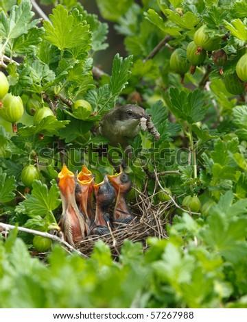 The nest of the Lesser Whitethroat (Sylvia curruca) in gooseberry bush. - stock photo