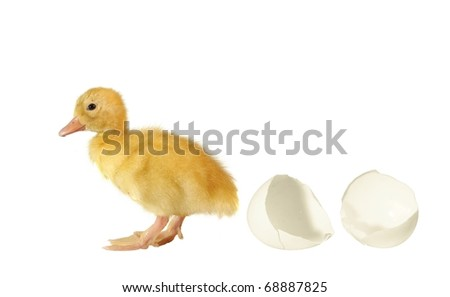 the nestling the duck and shell of egg on white background