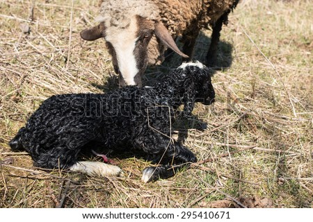 the newborn lamb next to her mother and the other lamb other sheep - stock photo