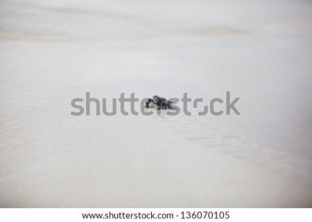 The newborn turtle hurries to the sea - stock photo