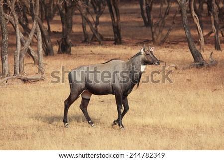 The nilgai (Boselaphus tragocamelus) - stock photo