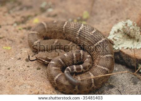The nominate species of ridge-nosed rattlesnake. - stock photo