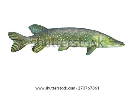 The Northern Pike (Esox Lucius) isolated on white background. - stock photo
