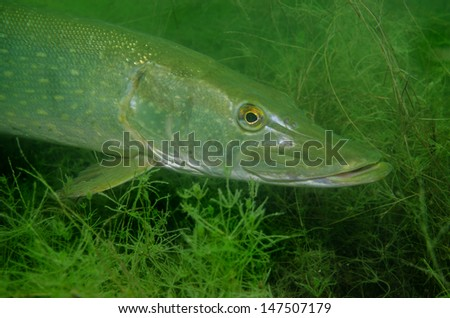 The northern pike or Esox lucius, known simply as a pike in Britain, Ireland, most parts of the USA, or as jackfish in Canada is a species of carnivorous fish. macro head shot - stock photo