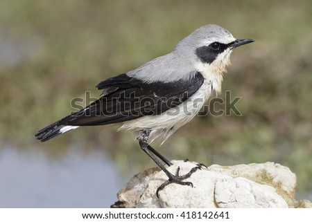 The northern wheatear - stock photo