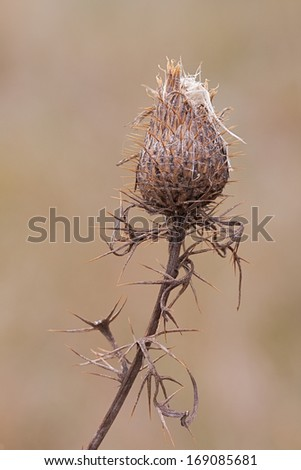 The now woody thorny spikes of a thistle flower wrap around its slender stem to help protect the seeding flower. The solitary flower, with it own spines, slowly releases its seeds to the open prairie. - stock photo
