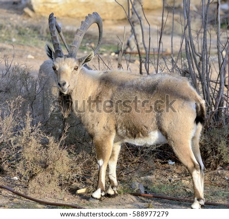 The Nubian ibex is a desert-dwelling goat species found