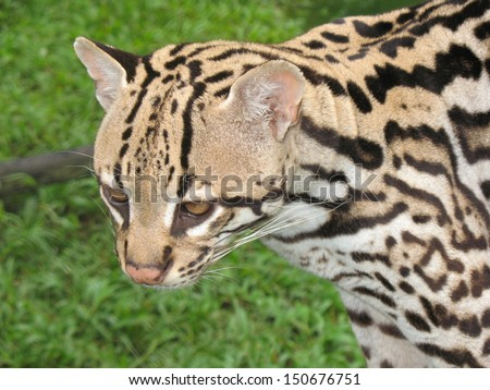 The ocelot (Leopardus pardalis), also known as the dwarf leopard, is a wild cat distributed extensively over South America - stock photo