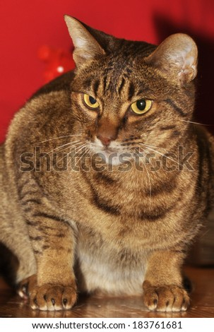 The Ocicat is an all-domestic breed of cat which resembles a wild cat but has no wild DNA in its gene pool.  - stock photo