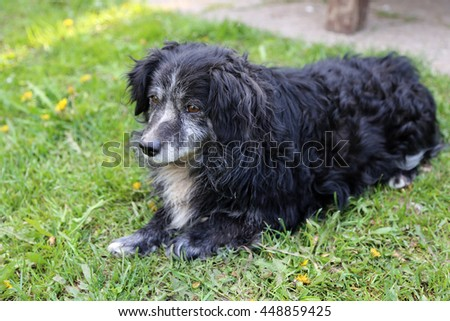 The old black dog with a gray-haired muzzle lies on a green grass.