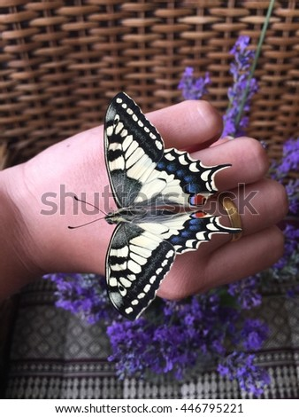 The old world swallowtail , papilio Machaon butterfly on hand