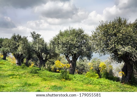 The olive trees growing on a slope of a sacred bible place -  on a mountain Favor, Israel - stock photo