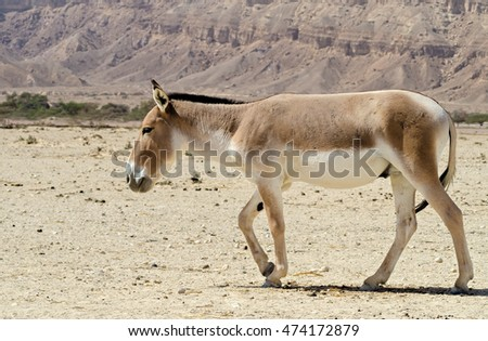 antelope asian singles The saiga antelope (/ the remaining third of births will be of a single foal levels and restore the population status of these nomads of the central asian.
