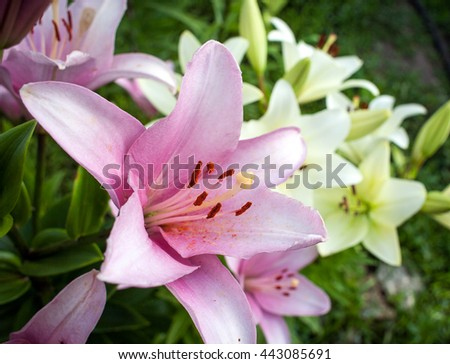 The one blooming pink lily in the summer garden. The one lily in the center of the shoot. The pink lily (Lilium) in blossom. The pink and white lilies in the garden. - stock photo