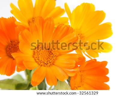The orange and yellow flowers of calendula by large plan. - stock photo