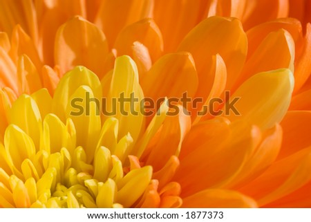 The orange and yellow petals of a Dahlia flower - stock photo