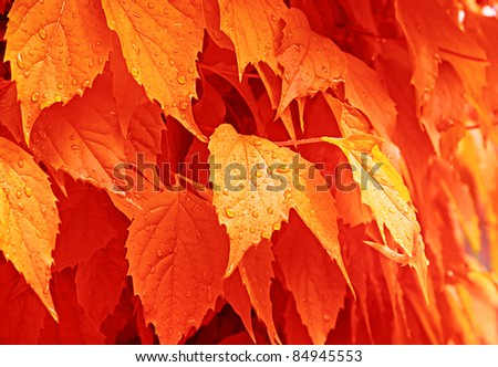 The orange autumn leaves with the drops of rain. - stock photo