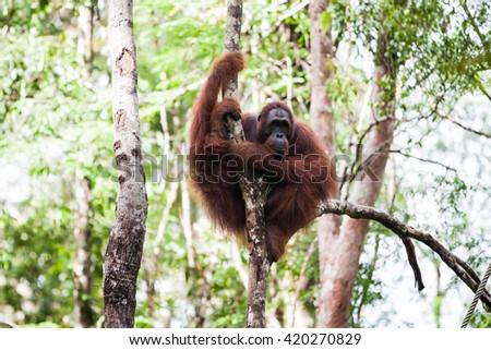 the orangutan in the wild - stock photo