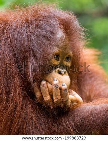 the orangutan in zoo. - stock photo