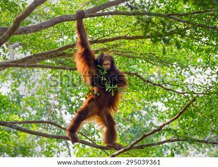 the orangutan on tree. - stock photo