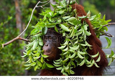 The orangutan uses a tree branch as an umbrella. Borneo. Indonesia. - stock photo
