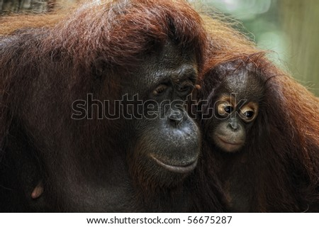 The orangutans are the only exclusively Asian living genus of great ape. - stock photo