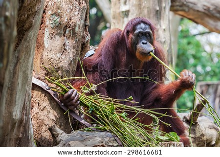 The orangutans are the two exclusively Asian species of extant great apes - stock photo