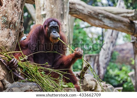 The orangutans are the two exclusively Asian species of extant great apes