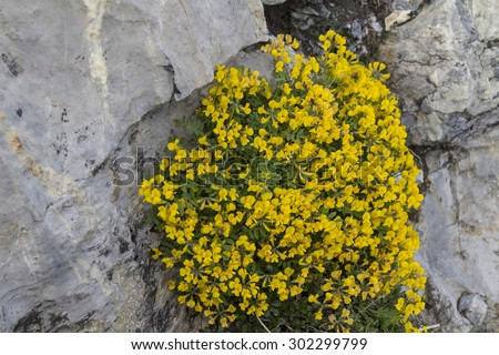 The ordinary horseshoe vetch belongs to the family of papilionaceous - stock photo
