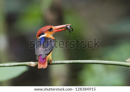 The Oriental Dwarf Kingfisher also known as the Black-backed Kingfisher or Three-toed Kingfisher (Ceyx erithaca) is a species of bird in the Alcedinidae family. it can found in Thailand