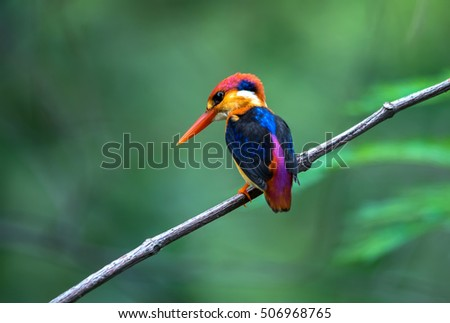 The Oriental Dwarf Kingfisher also known as the Black-backed Kingfisher or Three-toed Kingfisher (Ceyx erithaca) is a species of bird in the Alcedinidae family