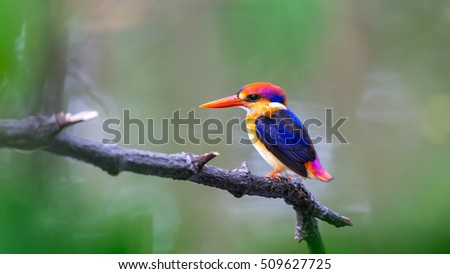 The Oriental Dwarf Kingfisher also known as the Black-backed Kingfisher or Three-toed Kingfisher (Ceyx erithaca) is a species of bird in the Alcedinidae family. it is found in Thailand