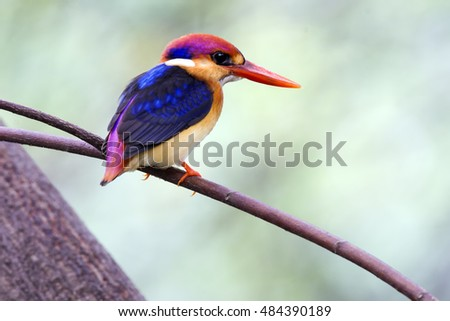 The oriental Dwarf Kingfisher on branchs evacuate stay at Vachirabenjatas Park, Bangkok, Thailand.