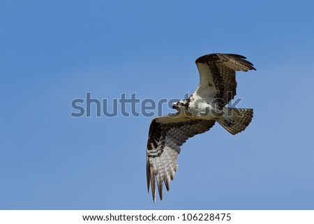 The Osprey (Pandion haliaetus), sometimes known as the sea hawk, fish eagle or fish hawk, is a diurnal, fish-eating bird of prey.
